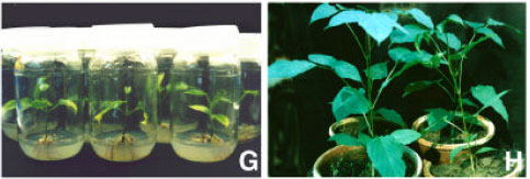 Image for - In vitro Propagation of Oroxylum indicum-An Endangered Medicinal Tree