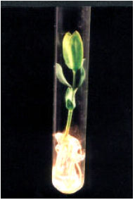 Image for - In vitro Root Formation in Micropropagated Shoots of Jojoba (Simmondsia chinensis)