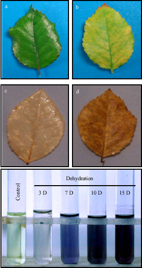 Image for - Extract from Drought-Stress Leaves Enhances Disease Resistance Through Induction of Pathogenesis Related Proteins and Accumulation of Reactive Molecules