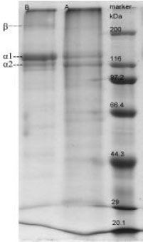 Image for - Characterization of Collagen from Eggshell Membrane