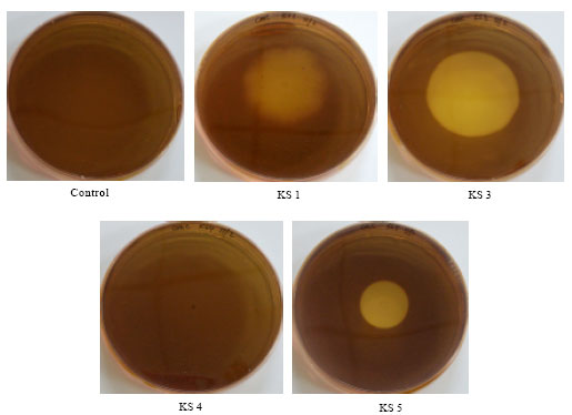Image for - Isolation and Selection of Appropriate Cellulolytic Mixed Microbial          Cultures for Cellulases Production from Oil Palm Empty Fruit Bunch