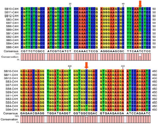 Image for - Gene-associated Single Nucleotide Polymorphism (SNP) in Cinnamate 4-Hydroxylase (C4H) and Cinnamyl Alcohol Dehydrogenase (CAD) Genes from Acacia mangium Superbulk Trees