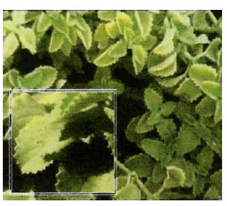 Image for - Plectranthus tenuiflorus (Shara) Promotes Wound Healing: In vitro and in vivo Studies