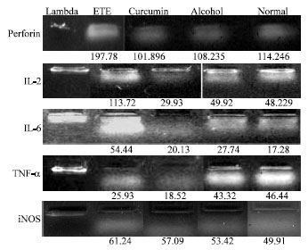 Image for - Comparison of Efficacy of Turmeric and Commercial Curcumin in Immunological Functions and Gene Regulation