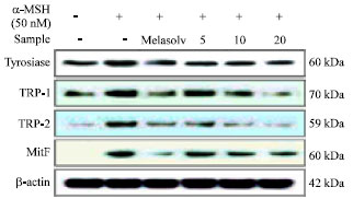 Image for - Effect of Korean Red Sea Cucumber (Stichopus japonicus) on Melanogenic    Protein Expression in Murine B16 Melanoma