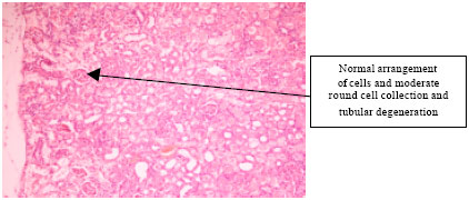 Image for - Protective Effect of Zingiber officinale on Gentamicin-Induced Nephrotoxicity in Rats