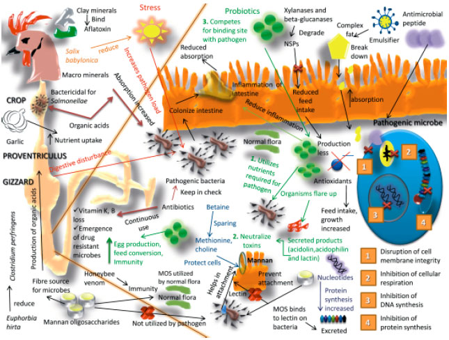 Image for - Growth Promoters and Novel Feed Additives Improving Poultry Production and    Health, Bioactive Principles and Beneficial Applications: The Trends and Advances-A    Review