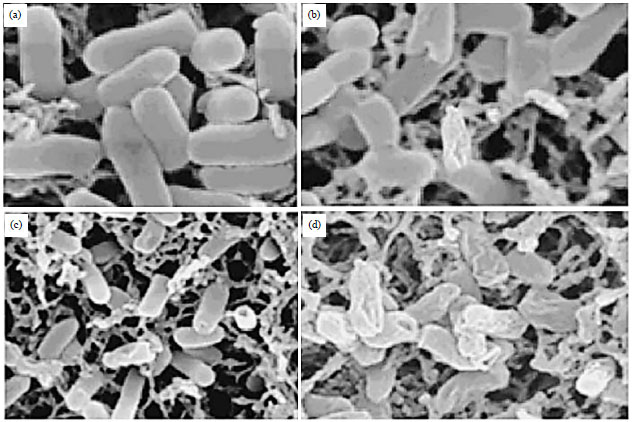 Image for - Phytochemical Analysis, Antibacterial Activity and Mode of Action of the Methanolic Extract of Scutellaria barbata Against Various Clinically Important Bacterial Pathogens