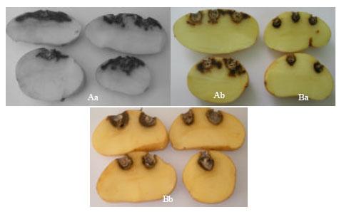 Image for - Effect of Temperature on Aggressivity of Tunisian Fusarium species Causing Potato (Solanum tuberosum L.) Tuber Dry Rot