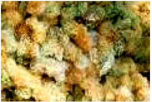 Image for - Evaluation of the Technological Properties of the Bio-organic Colored Cotton