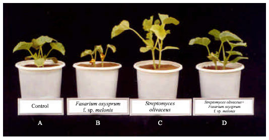 Image for - Laboratory Preparation of a New Antifungal Agent from Streptomyces olivaceus in Control of Fusarium oxysporum f.sp. melonis of Cucurbits in Greenhouse
