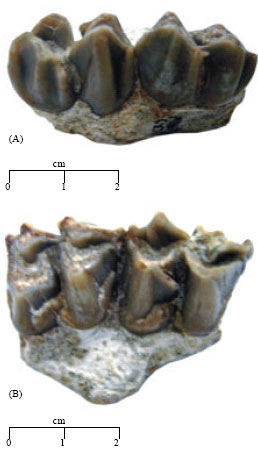 Image for - Dorcatherium majus, a Study of Upper Dentition from the Lower and Middle Siwaliks of Pakistan