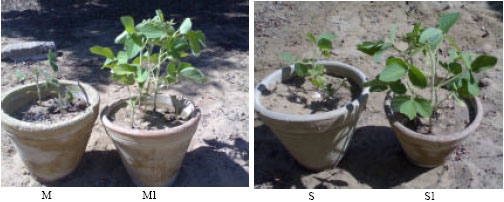 Image for - Control of Soil-Borne Pathogenic Fungi of Soybean by Biofumigation with Mustard Seed Meal