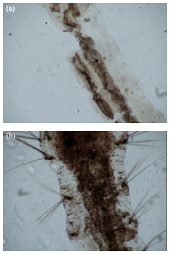 Image for - UV Irradiation-induced Silver Nanoparticles as Mosquito Larvicides