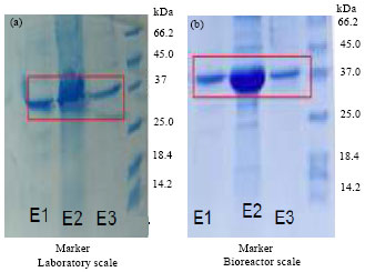 Image for - Over Production of Human Recombinant Interferon α-2b: Scaling up Process