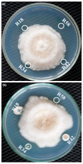 Image for - Efficiency of Actinomycetes Against Phytopathogenic Fungus of Chilli Anthracnose