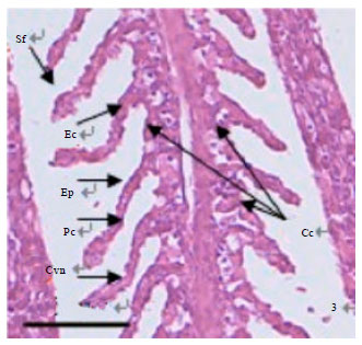 Image for - Microscopic Observation on Gill Structure of Juvenile Pseudosciaena crocea under Different Salinities