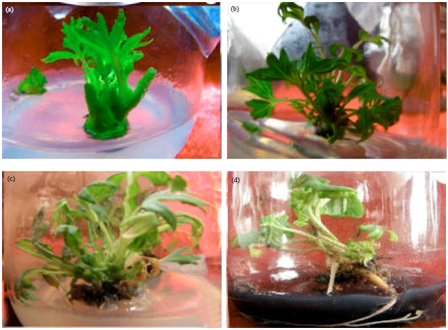 Image for - Micropropagation of Dwarf Tree Peony from Lateral Buds