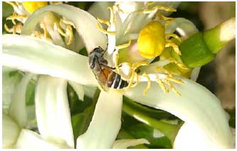 Image for - How Serious Is the Threat of Diseases and Pests to the Red Dwarf Honey Bee (Apis florea F.)?