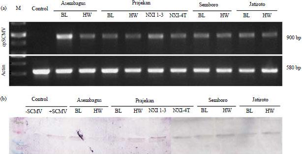 Image for - Monitoring Sugarcane mosaic virus (SCMV) on Recent Sugarcane Varieties in East Java, Indonesia