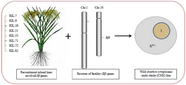 Image for - Assessment of Genetic Variability and Identification of Fertility Restoration Genes Rf3, Rf4 of WA-CMS in RILs Population of Rice