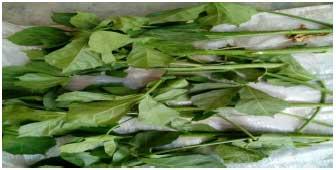 Image for - Hypoglycaemic Efficacies of Leaf and Stem Extracts of Jatropha tanjorensis (Euphorbiaceae) in Diabetic Mice