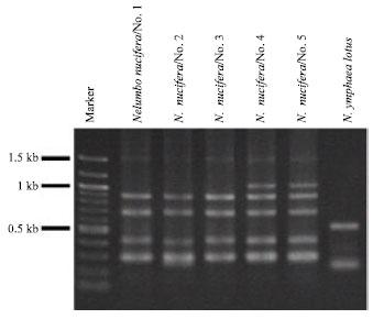 Image for - Genetic Relationships in a Population of Nelumbo nucifera Gaertn. (Nelumbonaceae)