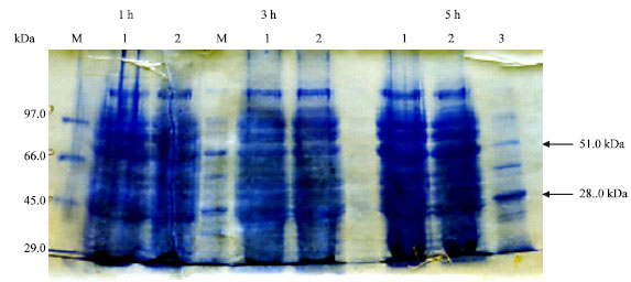 Image for - Molecular Characterization and Immunogentic Properties of a Group 3 Membrane Protein Isolated from B. abortus Infection