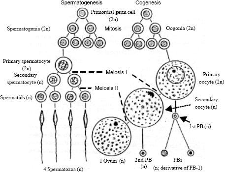 Permalink to Gametogenesis pada spermatozoa dan oogenesis