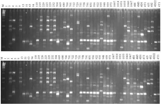 Image for - Diversity Analysis of Bacillus thuringiensis Isolates Recovered from Diverse Habitats in India using Random Amplified Polymorphic DNA (RAPD) Markers