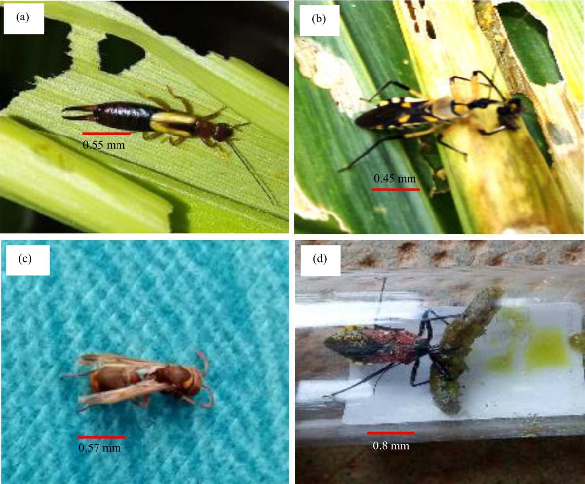Image for - Biologycycle and Natural Enemies of Spodoptera frugiperda (Lepidoptera: Noctuidae) in Maize Crops in Cote D'ivoire