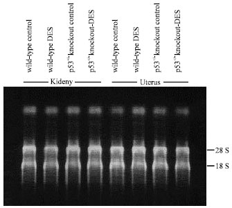 Image for - Identification of Estrogen-responsive Genes in p53+/- Knockout and Isogenic Wild-type Parent Strain Mice by CDNA Macroarray Analysis