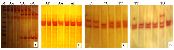 Image for - Genetic Differentiation and Phylogeny Relationships of Functional ApoVLDL-II Gene in Red Jungle Fowl and Domestic Chicken Populations