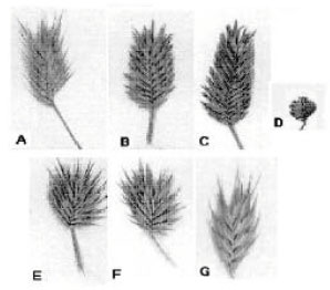 Image for - A Morphological and Anatomical Study of an Annual Grass Eremopyrum (Poaceae) in Iran