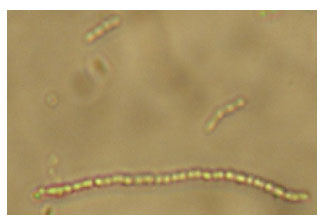 Image for - Isolation of a Tannic Acid-Degrading Streptococcus sp. From an Anaerobic Shea Cake Digester