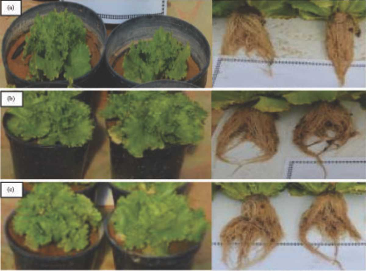 Image for - Native Plant Growth-Promoting Rhizobacteria for Growth Promotion of Lettuce from Qassim, Saudi Arabia