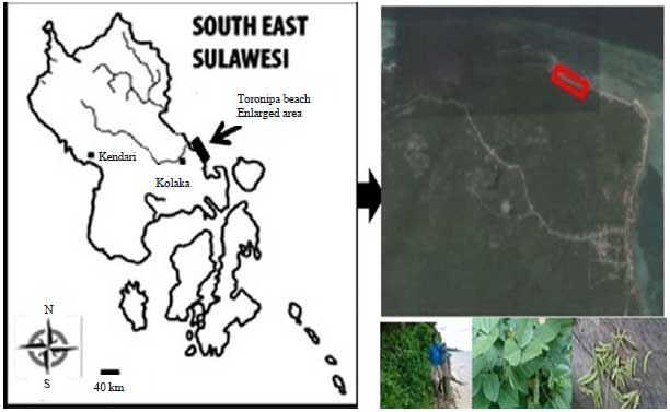 Image for - Evaluation of Nutritional and Antioxidant Capacity of Marine Bean grown in coastal areas, Southeast Sulawesi, Indonesia