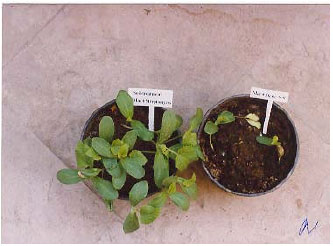 Image for - Evaluation of Streptomyces strains for Biological Control of Charcoal Stem Rot of Melon Caused by Macrophomina phaseolina