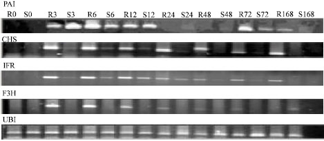 Image for - Expression of Phenylpropanoid Pathway Genes in Chickpea Defense Against Race 3 of Ascochyta rabiei