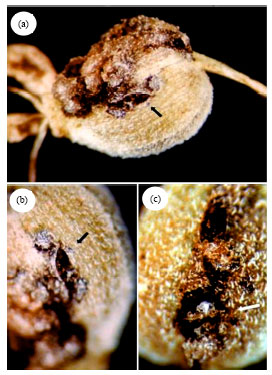 Image for - Puccinia pimpinellae, a New Pathogen on Anise Seed in Egypt
