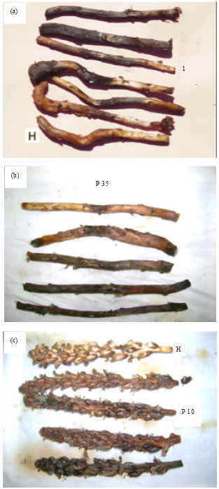 Image for - Isolation and Evaluation of Indigenous Fungal and Bacterial Isolates as Potential Bioagents Against Broomrape (Orobanche cernua) in Jordan