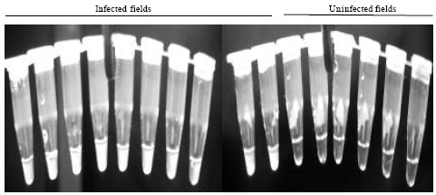 Image for - Detection of Kyuri Green Mottle Mosaic Virus from Soil by the Immunocapture Reverse    Transcription Loop-mediated Isothermal Amplification Reaction