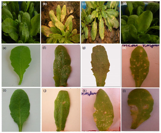 Image for - ATMPK4 and ATMPK6 Transcript and Protein Profiling in Arabidopsis thaliana Plants Challenged with Zeatin and Alternaria brassicae