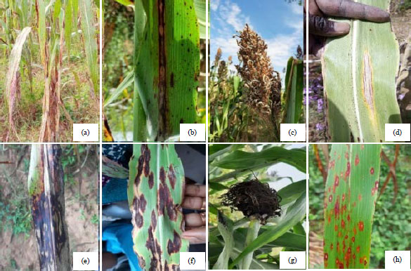 Image for - Survey of the Prevalence and Incidence of Foliar and Panicle Diseases of Sorghum Across Production Fields in Niger