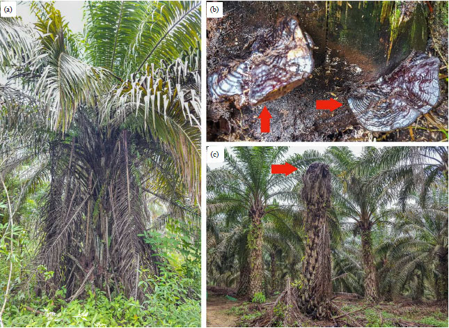Image for - Incidence and Severity of Ganoderma Rot Disease in Tropical Land-use Systems and Their Virulence to Palm Oil