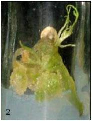 Image for - Effect of Plant Growth Regulators on Callus Induction and Regeneration of Cumin (Cuminum cyminum)