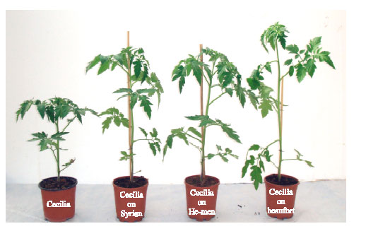 Image for - Effect of Grafting Tomato on Different Rootstocks on Growth and Productivity under Glasshouse Conditions
