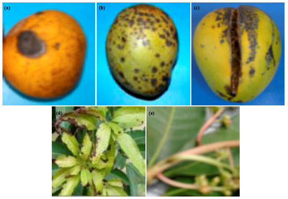 Image for - Mango Fruit Anthracnose and the Effects on Mango Yield and Market Values in Southwestern Nigeria