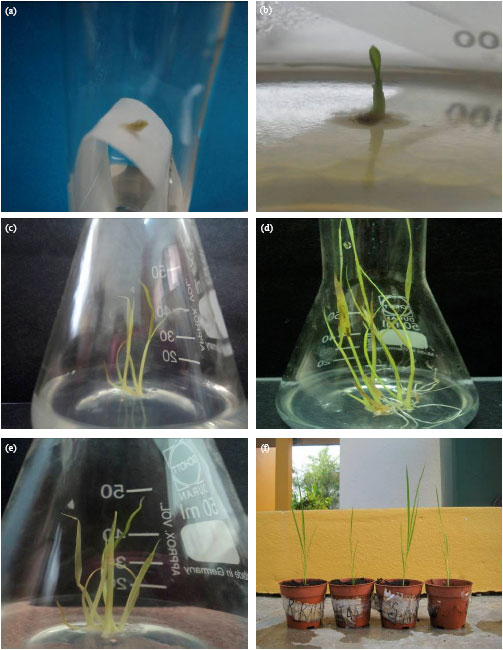 Image for - Effects of Plant Growth Regulators on In vitro Regeneration of Malaysian Indica rice (Oryza sativa L.) cv. MR219 by Shoot Apical Meristem