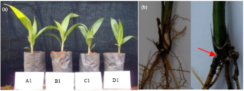 Image for - Control Activity of Potential Antifungal-Producing Burkholderia sp.    in Suppressing Ganoderma boninense Growth in Oil Palm
